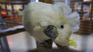 Funny Parrot-Sulphur-crested cockatoo calls for caresses/ Kakadu zółtoczuba domaga się pieszczot
