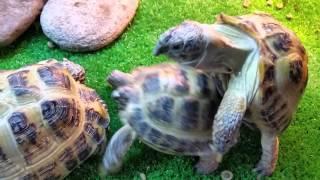 Черепахи азиаты в домашних условиях