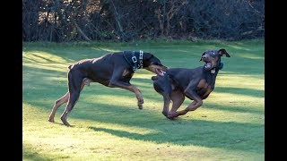 Funny Doberman Playing Compilation