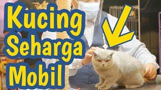 Cat Show Indonesia  Jalan Jalan ke  JCC 2020