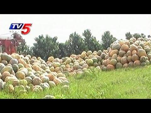 Pumpkin Farming in Trouble at West Godavari | Annapurna | TV5 News
