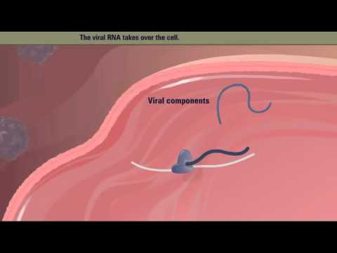 Polio Virus Life Cycle HD Animation