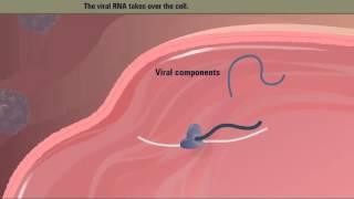 polio-virus-life-cycle-hd-animation