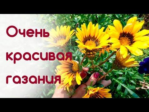 Газания, украшаем участок. Неприхотливый, прекрасный цветок