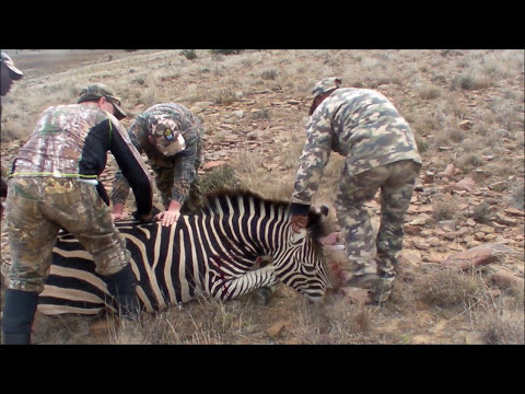 Zebra Hunt South Africa Full out takes