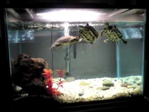 Mis tortugas japonesas de 2 a os en su pecera youtube for Acuario tortugas