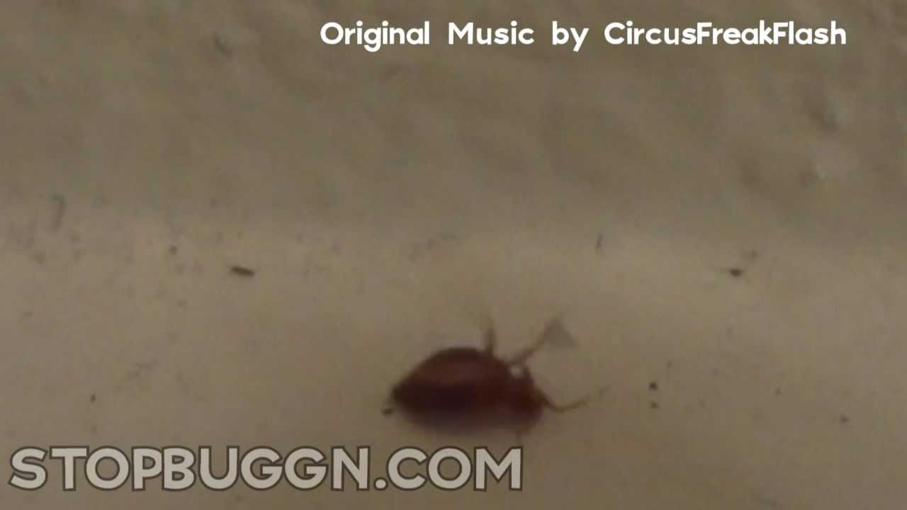 Bed Bug Runs Then Flips Bed Bug Removal Las Vegas Youtube