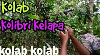 Mikat Burung Kolibri Proses Penangkapan kolibri kolab