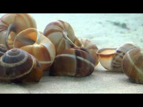 Battle of the Shells - Documentary series on shelldwelers from Lake Tanganyika - Part 1 of