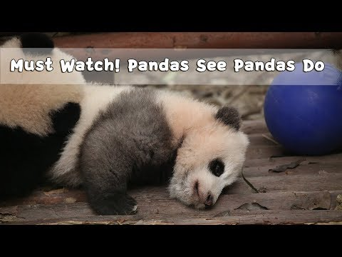 Must Watch 3 ! Pandas See Pandas Do | iPanda