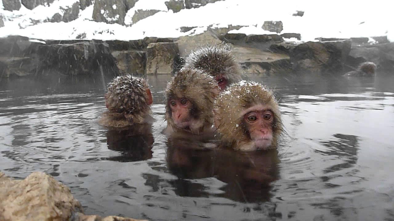 Cute Monkey Wallpaper Cute Baby Japanese Macaques Jigokudani Snow Monkey Park