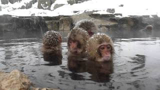 Cute Baby Japanese Macaques.  Jigokudani Snow Monkey Park, Nagano, Japan 地獄谷野猿公苑