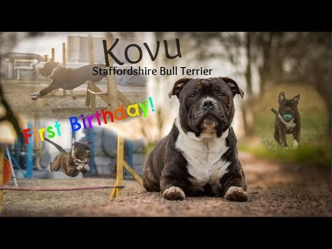 Kovu Staffordshire Bull Terrier - First Birthday!