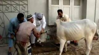 cow kick & running away b4 qurbani.flv