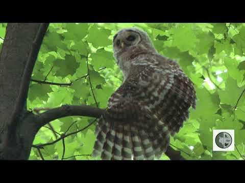 Owls of Eastern North America
