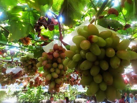 Grapes Plantation in Japan