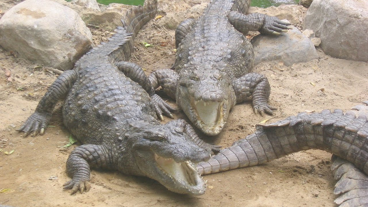 how to fight an alligator