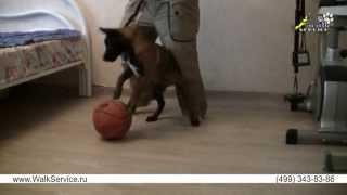 Дрессировка собак, как приучить щенка к поводку(http://www.walkservice.ru/Forum/showthread.php?384 - для ОБСУЖДЕНИЙ и вопросов, и не забывайте ставить НРАВИТСЯ и ПОДПИСЫВАТЬСЯ...., 2013-07-06T11:39:14.000Z)