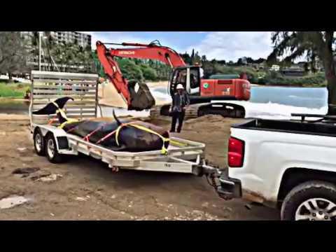 Dead beached pilot whale hauled off Kalapaki Beach