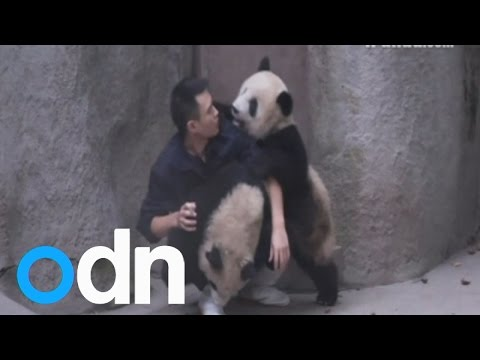 Cute: Adorable moment two panda cubs outsmart zookeeper in China