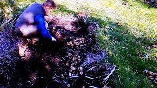 картофель под сеном сравнение урожайности 5ти сортов(В этом видео я покажу и расскажу, как я посадил под сено без перекопки и окучивания 5 разных сортов картофеля..., 2013-10-11T13:12:23.000Z)