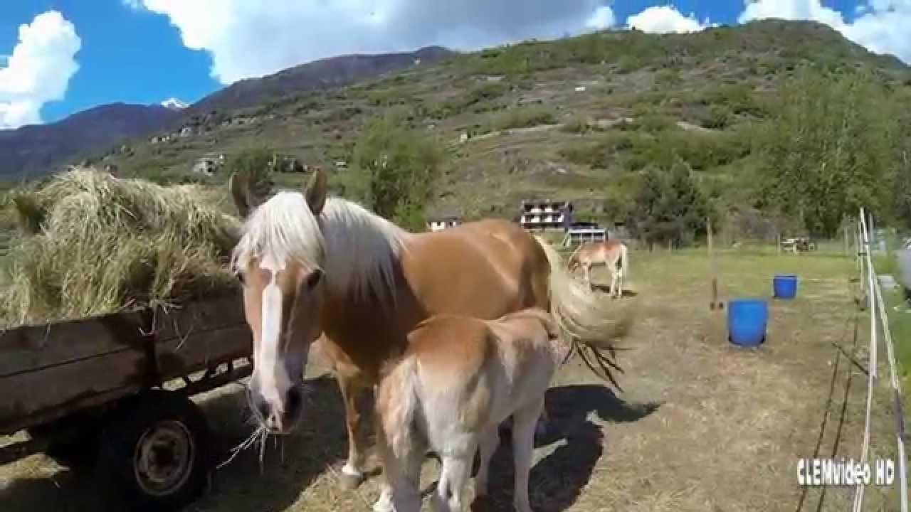 Cavallo avelignese o haflinger youtube for Cavalli bolzano