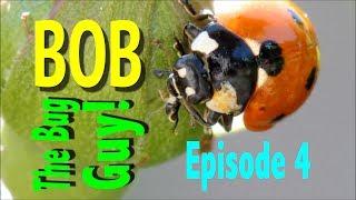 BUGS! Ladybugs, Ladybirds & Ladybeetles - Bob the Bug Guy e4