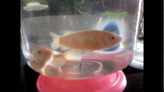 climbing perch fish feeding(ikan puyu).avi