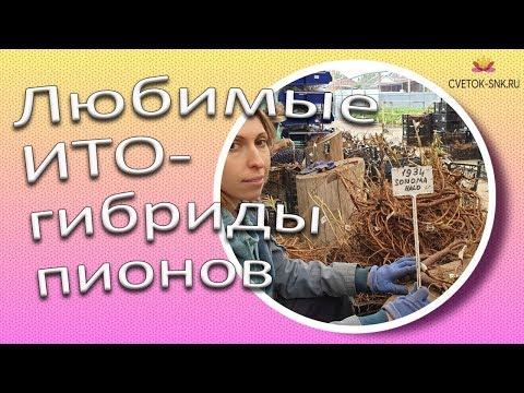 Любимые ИТО-гибриды пионов / Сад Ворошиловой