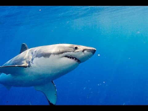 Great White Shark, now showing in IMAX at Discovery Place