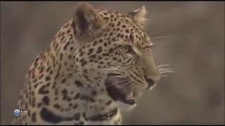 Хайвонхои Африки  Леопарды Мир дикой природы.  Документальный фильм 1