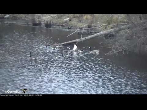 SWP Video 2017 03 08 175000 GEESE DO BOTTOM UPS TO SEARCH FOR FOOD