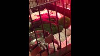 Baby male eclectus parrot talking in his sleep