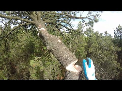 Topping a pine with a handsaw
