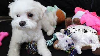 애기때 갖고놀던 장난감을 오랜만에 본 강아지 반응♥
