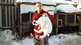 Взвешивание кролика породы строкач.