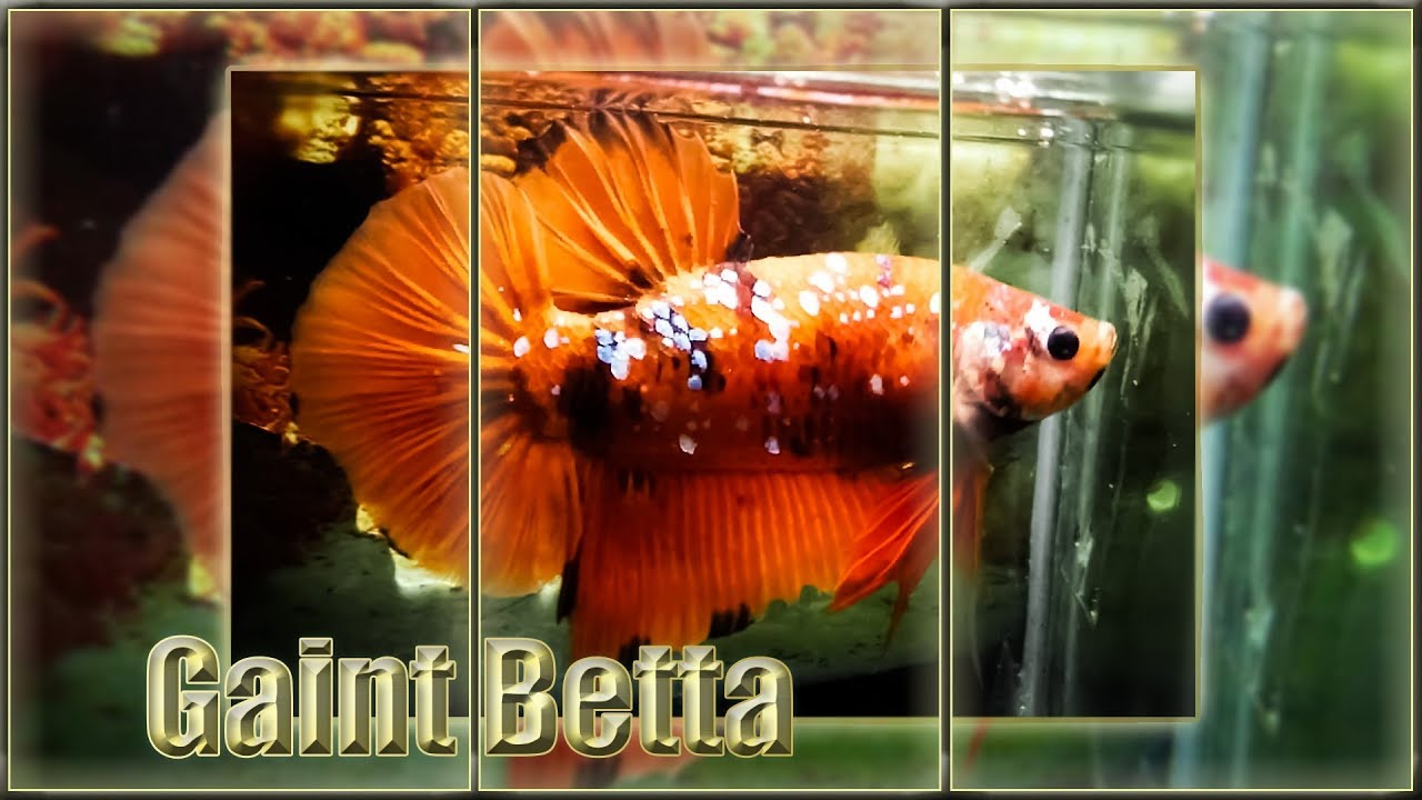 giant betta fish - YouTube