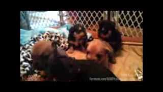Terrier Mix Puppies - Playing - Romp Italian Greyhound Rescue