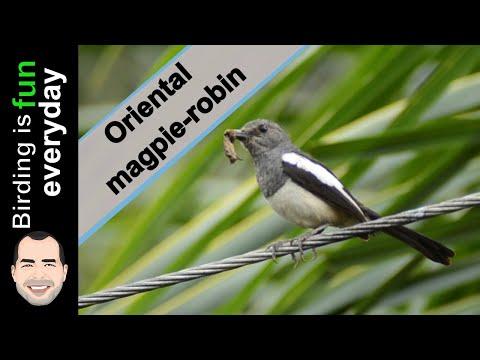 Female Oriental magpie-robin song - Cebu Philippines