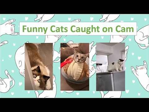 Funny Cats Caught on Cam   TikTok Compilation