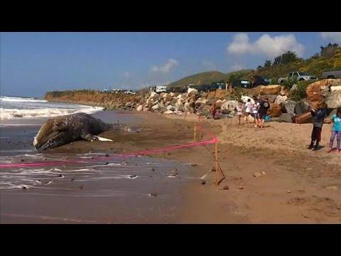 شاهد: حوت نافق طوله 12 مترا على شاطئ ماليبو الشهير  - نشر قبل 13 دقيقة