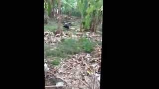 The CHE DM hunting on pekanbaru riau (elang brontok)