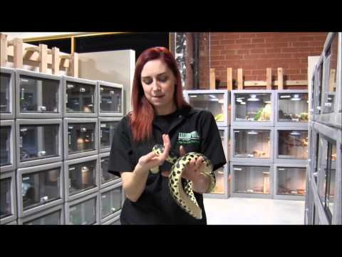 Madagascar Giant Hognose Snake