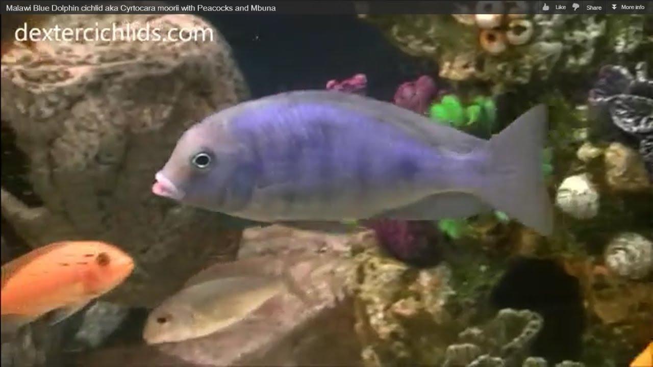 Malawi Blue Dolphin cichlid aka Cyrtocara moorii with Peacocks and ...
