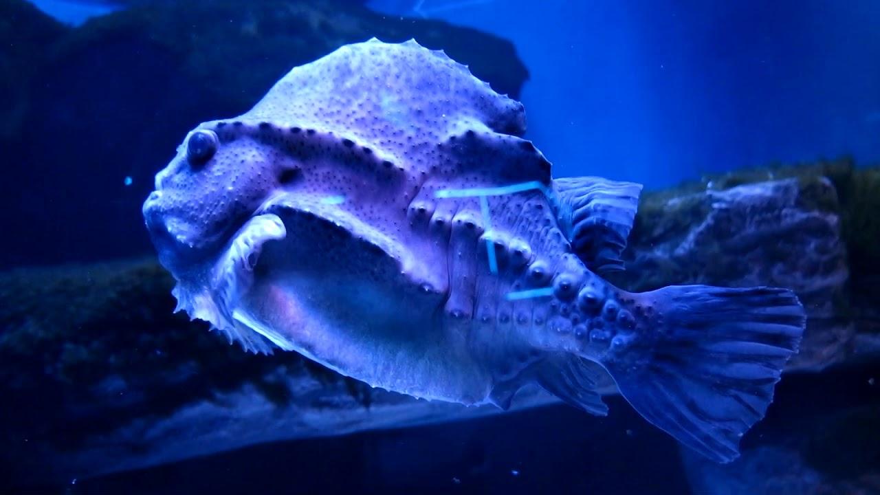 """РЫБА ПИНАГОР. Выставка морских рыб в Центре """"Дельфиния"""" Новосибирского зоопарка."""