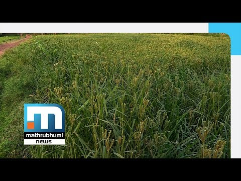 Season Of Change In Crops In Karnataka  Mathrubhumi News