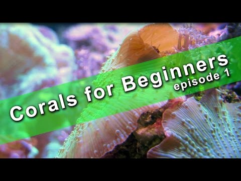 Corals for Beginners - Mushroom Coral