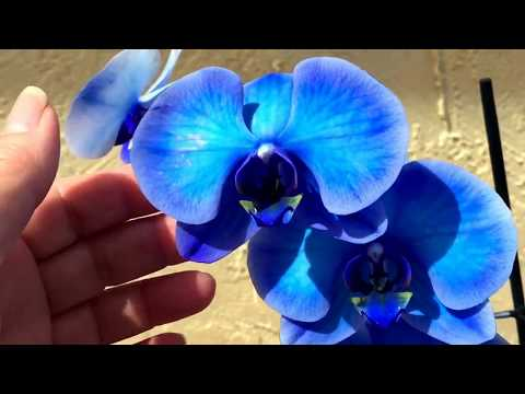 I Have A Blue Orchid
