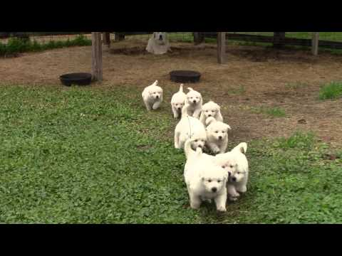 Great Pyrenees puppies 37 days old (video 1)