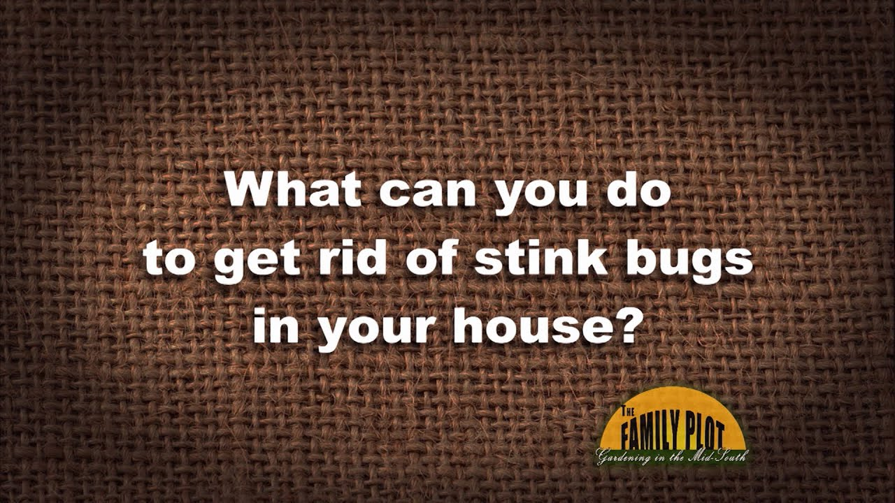 Q A How Do You Get Rid Of Stink Bugs In Your House